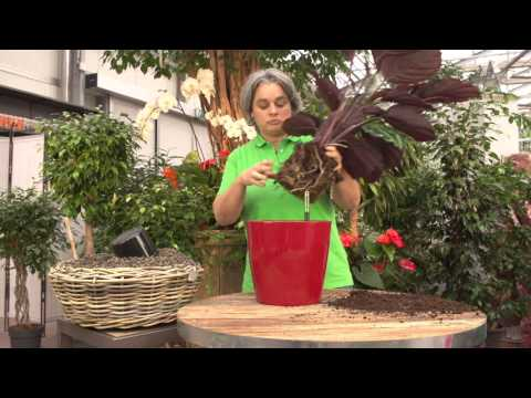 Die Kur der Potenz vom Ingwer
