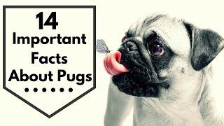 14 Important Facts about Pugs Every New Mom Should to Know