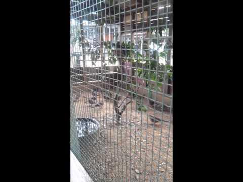 Video Sangkar burung terkukur