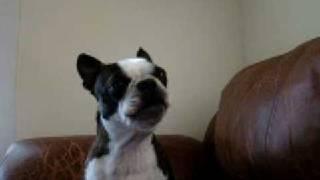 boston terrier singing gwen stefani