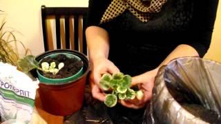 Выращивание  пестролистной фиалки