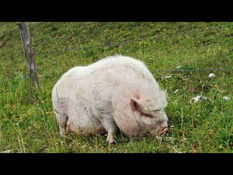 , title : 'How to Feed Your Potbellied Pig | Pet Pigs