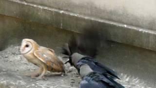 Смотреть онлайн Вороны не любят сову