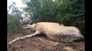 Humpback whale found dead in the Amazon JUNGLE, miles from its natural habitat