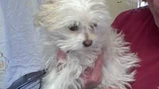 Maltese Puppy -- Lancaster Shelter, CA