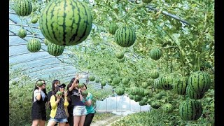 Awesome Melon Farming and Harvesting - Korean Agriculture Technology