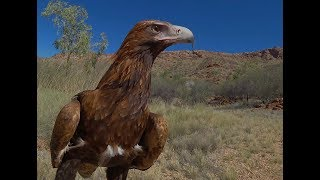 Wedge-tailed Eagle-cam Alice Springs Desert Park