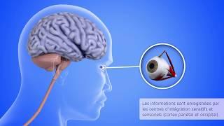 La posture humaine : les programmes posturaux statiques et dynamiques