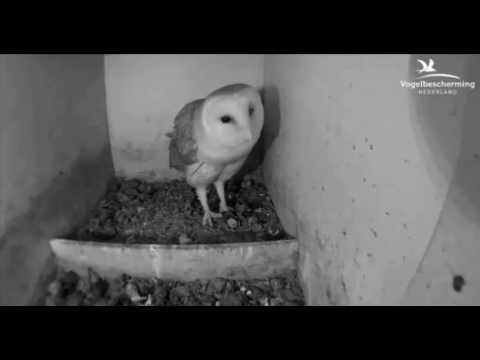 Mannetje eet prooi - 19 maart 2017