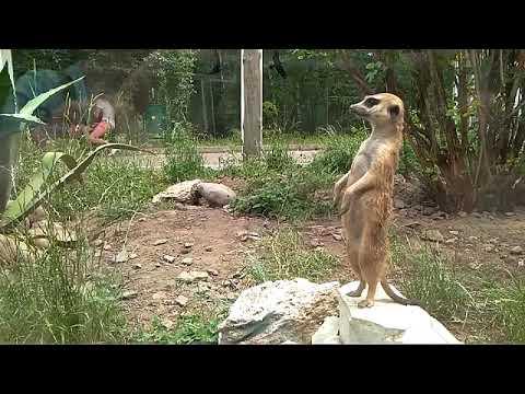 Сурикат в зоопарке
