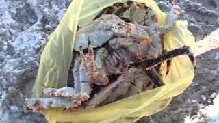 В районе бухты Патрокл ловят краба обычной палкой
