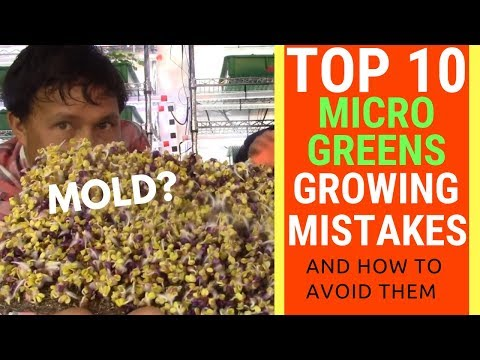 Top 10 Mistakes When Growing Microgreens & How to Avoid them