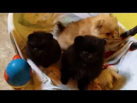 unsere Pomeranian Babys, ein Mini - Püppchen und ihre Geschwister