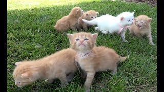 Si Meong Kucing Lucu - Funny Cats and Kittens Meowing