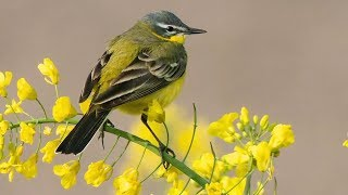 "Peaceful Relaxing Instrumental Music, Calm Meditation Music ""Spring Songbirds"" By Tim Janis"