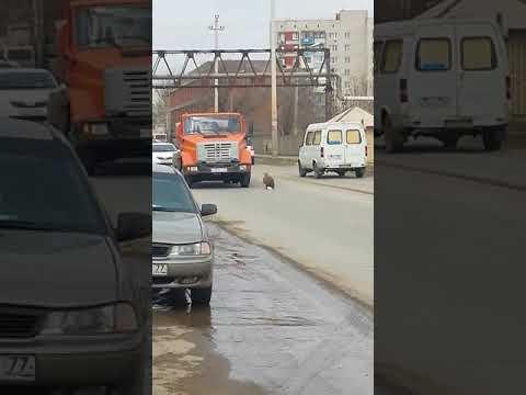 В Астрахани образовалась автомобильная пробка из-за орлана-белохвоста