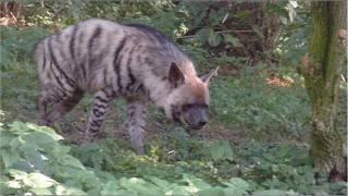 Striped hyena - Lion - Tiger - Zebra - Ring tailed lemur endangered because of deforestation