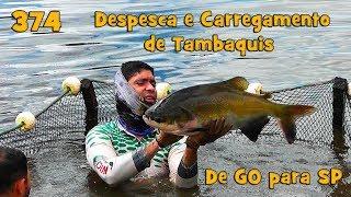 Despesca e Carregamento de Tambaquis - Fishingtur na TV 374