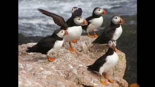 atlantic puffin bird  information in tamil