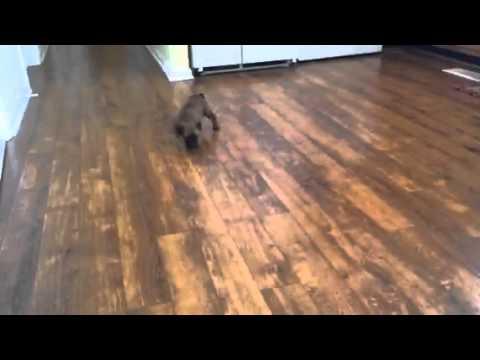 Malinois Puppies--Louisville