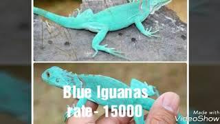 iguana india - Free video search site - Findclip