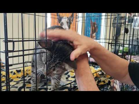 Cash, an adoptable Tabby & Bengal Mix in Mission Viejo, CA