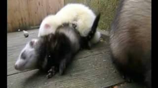 Das Paarungsritual von Frettchen
