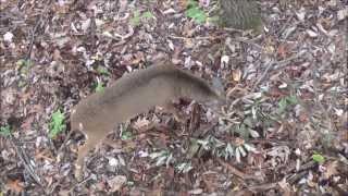 Whitetail Decoy Brings in Pre-rut Buck (Whitetal Buck Behavior)