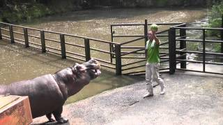 カバのスイカまるごとタイム(長崎バイオパーク)Hippo Family Eating Watermelons