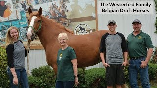 What Is A Belgian Draft Horse?