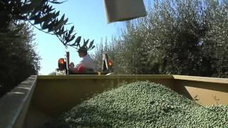 Смотреть онлайн Как собирают урожай оливок