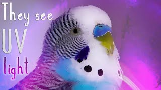 How Budgies See The World in Colour [Alen AxP]