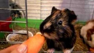 Морские свинки, как морские свинки едят морковь