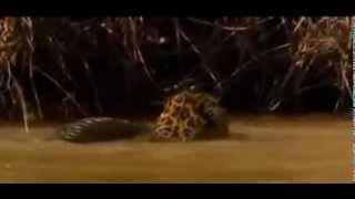 Ягуар съедает крокодила.