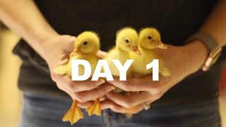 Day 1: Bringing the ducklings home (Raising Backyard Ducks)