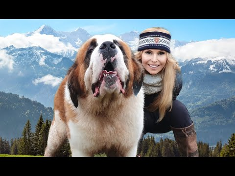 THE SAINT BERNARD DOG - GIANT ALPINE RESCUER