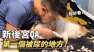 【新後宮QA!第一個被尿的地方?】志銘與狸貓