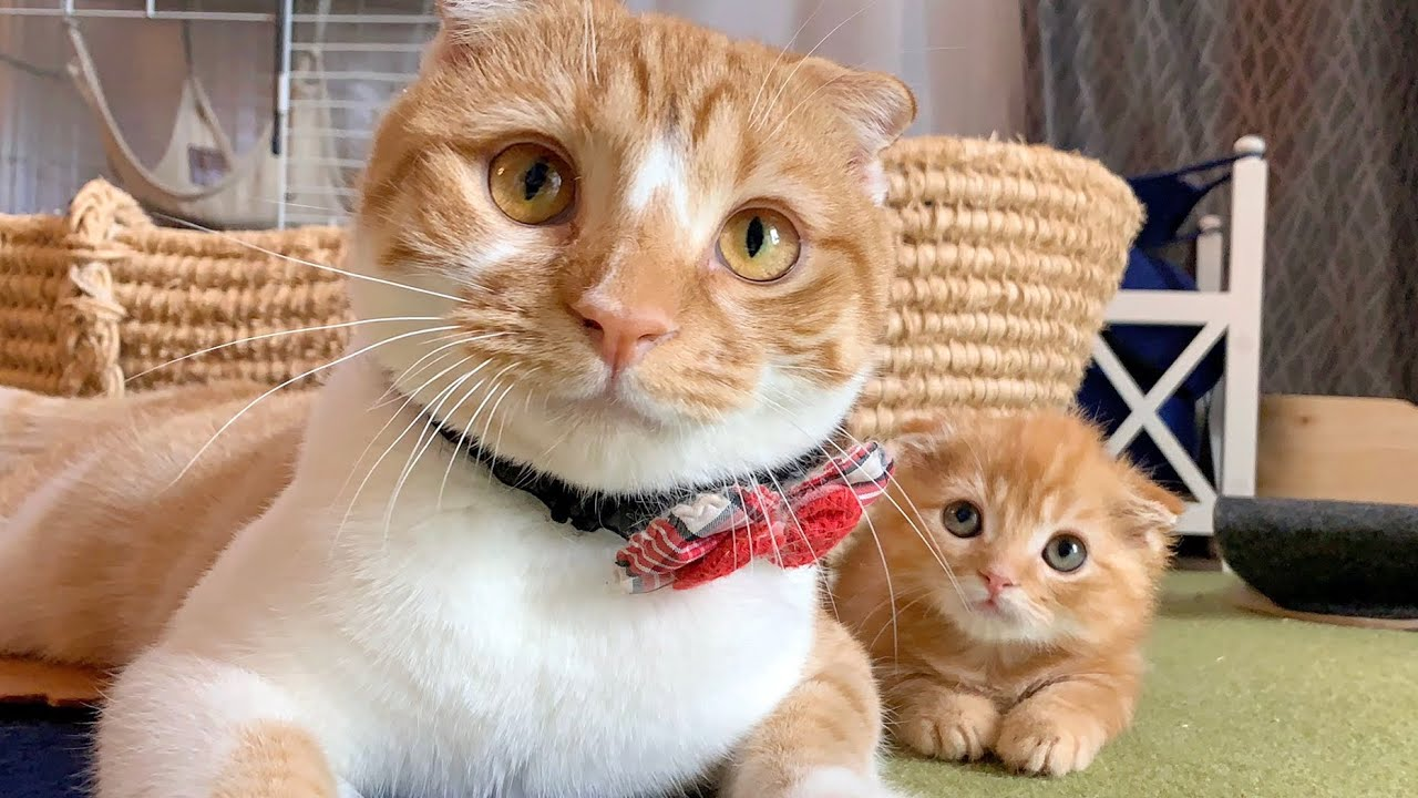 凶暴でかわいすぎる子猫【短足マンチカン】