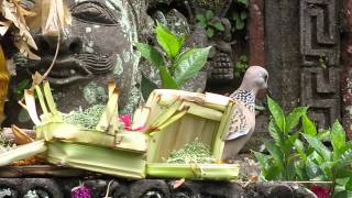 2015-05-02 Bird eating offerings, Ubud