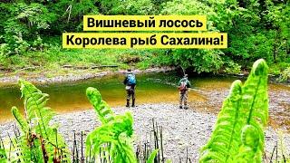 Вишневый лосось. Королева рыб Сахалина / Cherry Salmon. Sakhalin fish queen