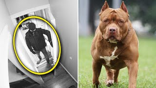 Thief Breaks Into Home Where This Pit Bull Lives– Then Instantly Regrets It