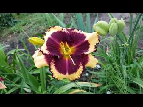 Лилейник Tiger Blood_ Daylily (Hemerocallis 'Tiger Blood')_video 2