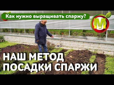 Как НУЖНО выращивать спаржу. НАШ МЕТОД ПОСАДКИ СПАРЖИ