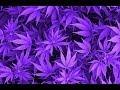 ALLUME-LE (Mesh / Marijuana Dub)