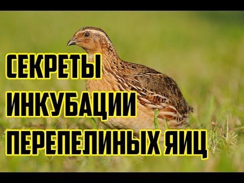 , title : 'Перепела / Инкубация перепелиных яиц / Выращивание перепелов в домашних условиях