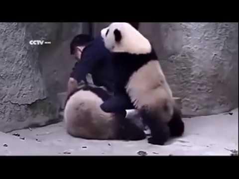 Капризные Панды :)