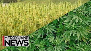 What's the Difference Between Hemp & Pot? | MERRY JANE News