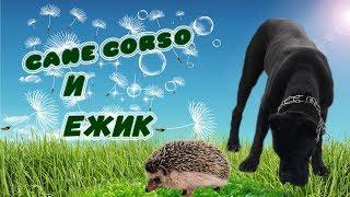 Как собака Кане Корсо нашел ежа.#canecorso