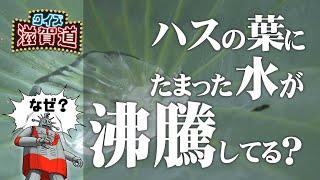ハスの葉にたまった水が沸騰するように見えるはなぜ?:クイズ滋賀道