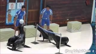 Die besten 100 Videos Ganz großer Sport: Seelöwen spielen Volleyball